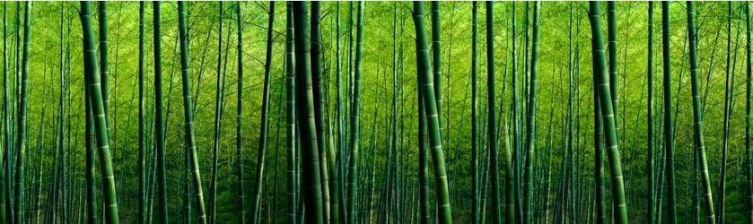 Bamboo pic1